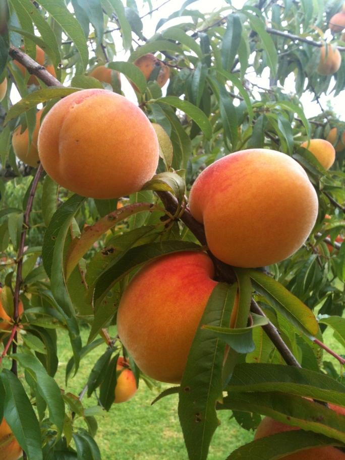 peachy beauties